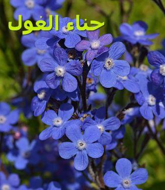Anchusa_azurea_حناء الغول
