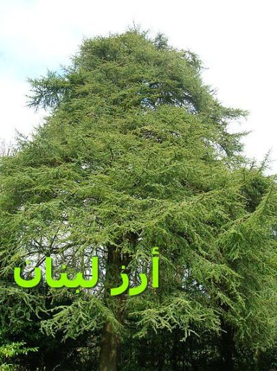 أرز لبنان-Cedar_of_Lebanon_