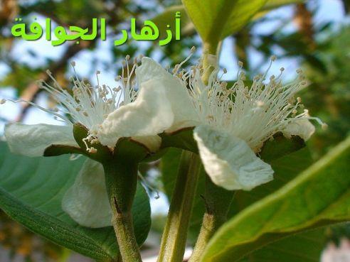 أزهار الجوافةr