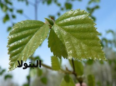 البتولا-Birch_tree_leaves
