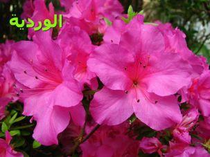 الوردية-Rhododendron_'Concina'_03