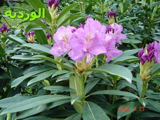الوردية-Rhododendron_pontica