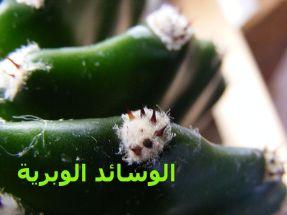 الوسائد الإبرية_Echinopsis_eyriesii