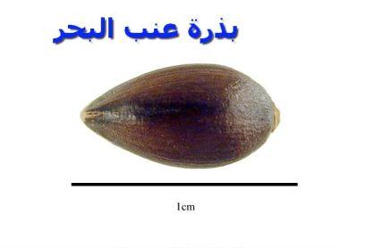 بذرة عنب البحر