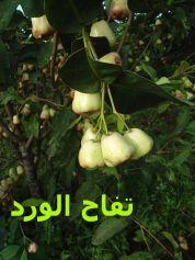 تفاح الورد_02