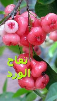 تفاح الورد_Rose_Apple