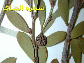شجرة الشاي_7Leptospermum_laevigatum
