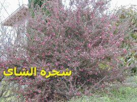 شجرة الشاي_Leptospermum_scoparium