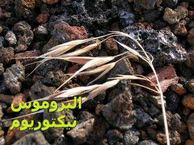 عشبة البروموس تيكتوريوم