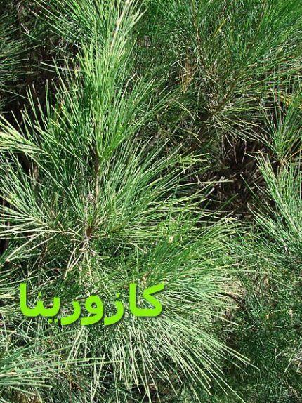 كازورينا_Casuarina_equisetifolia