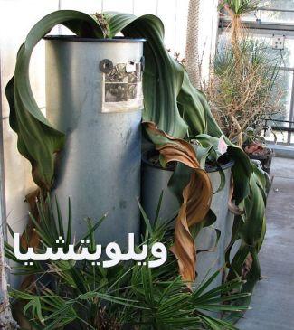 ويلويتشيا 00Welwitschia_mirabilis