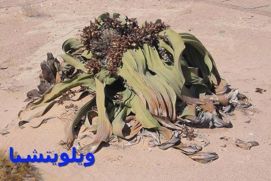 ويلويتشيا-Welwitschia