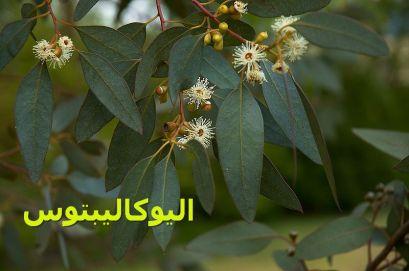 -Eucalyptusيوكاليبتوس