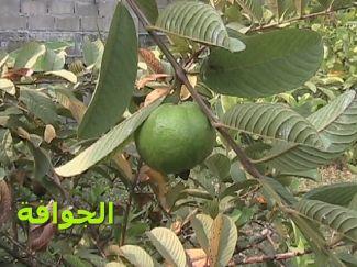 Guava_جوافة