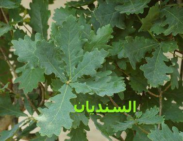 _Oak_Quercus_ السنديانr_