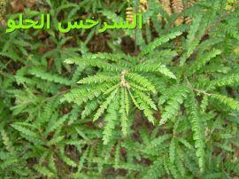 -Sweet-fern_السرخس الحلو