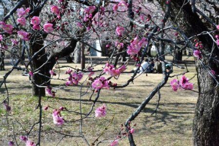 小金井公園 梅林