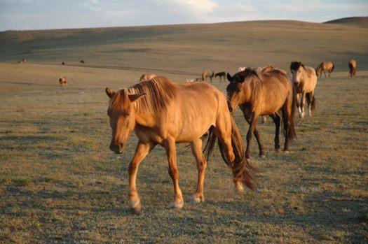 Mongolian horses.