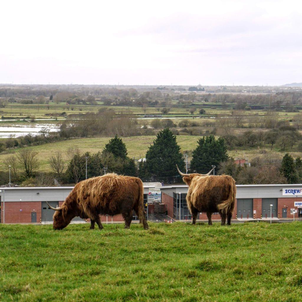 Horned cattle on Wearyall Hill, Glastonbury