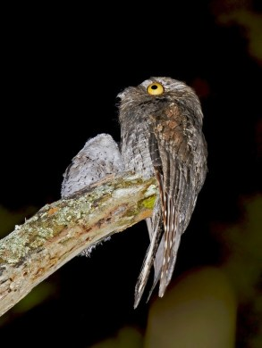 Pic  7   The Potoo bird always looks like it saw something     Pic  7   The Potoo bird always looks like it saw something horrifying