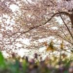 新潟県花見情報2017まとめ家族連れで楽しめるお勧めの穴場一覧