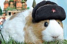 comrade morskaya svinka