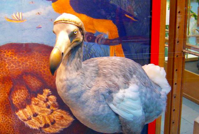 Dodo rests in Oxford
