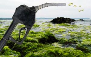 Científicos están trabajando para convertir las algas en combustible diesel