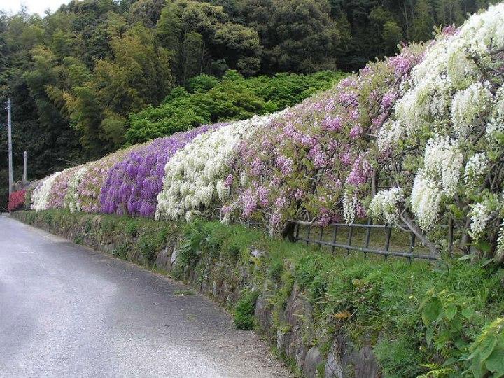 kawachi-fuji-garden-kitakyushu-japan-wisteria-3
