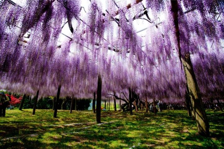 kawachi-fuji-garden-wisteria-tunnel-kitakyushu-japan-2