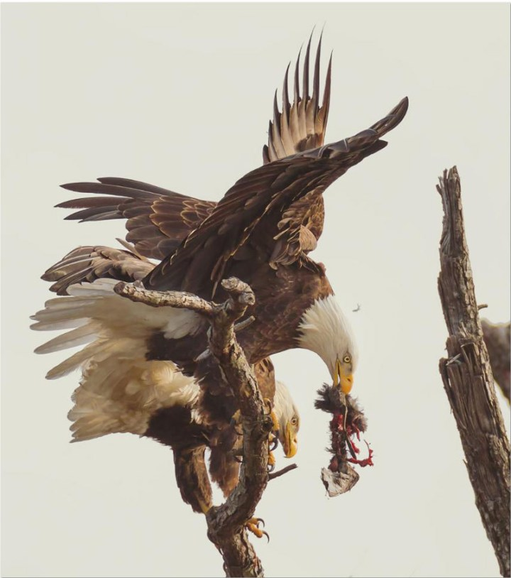 10Smithsonian-photo-contest-naturalworld-bald-eagle-carnage-eating-don-holland