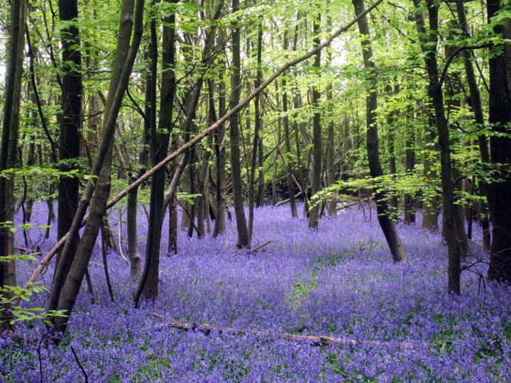 A rich bed of bluebells (Hyacinthoides non-scripta), Little Chittenden Wood, near to Four Elms, Kent, Great Britain. There are many different types of bluebells, just as there are many different common names for them, including bluebell, common bluebell, English bluebell, British bluebell, bell bottle, fairy flower, wild hyacinth and wood bell. Photo by Oast House Archive