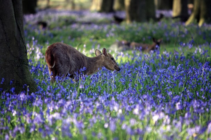 "The photographer said this is the inquisitive Muntjac in the bluebell forest. This animals is also called the ""barking deer."" Photo by MARK-SPOKES.COM"