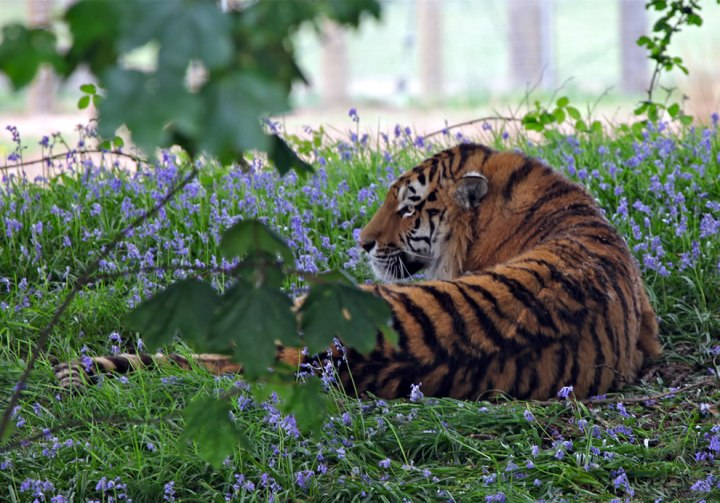 Not just dogs love the bluebells; this is Vladimir the Siberian Tiger relaxing in the bluebells at Yorkshire Wildlife Park. Photo by Rob Brooks