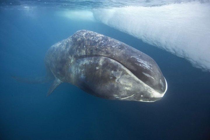 bowhead-whale