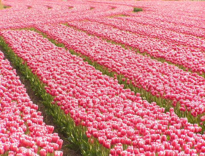 Overdose on pink in South Holland. Pink tulips symbolize caring and attachment. Not all tulips are incredibly fragrant, but some species are. Good scent or not, tulips are edible. During WWII and the Dutch famine of 1944, people survived by eating tulips and sugar beets. Photo by Felix63