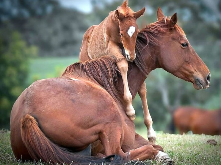 There's not much kick-back-and-relax time for mom. Foal urging momma horse to get up and play. Photo via PicPetz