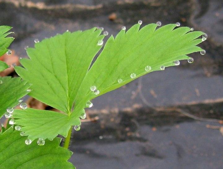 guttation-droplets-on-leaves-3