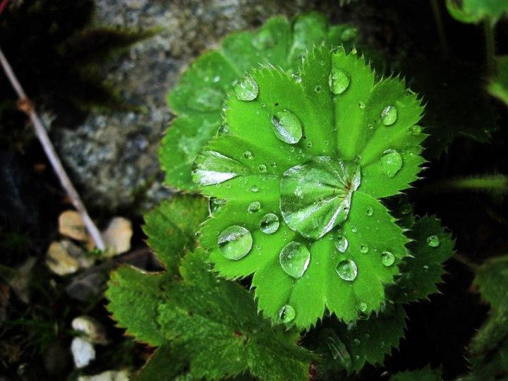 guttation-droplets-on-leaves-9