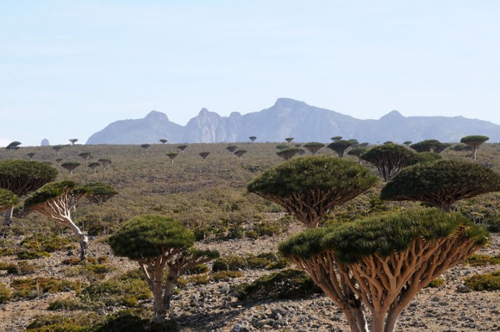 Socotra-Dragons-blood-trees-dotting-the-Haghier-massif-and-Diskum-plateau