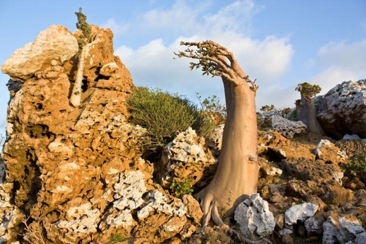 Socotra-endemic-tree-species-Dendrosicyos-socotrana-the-cucumber-tree