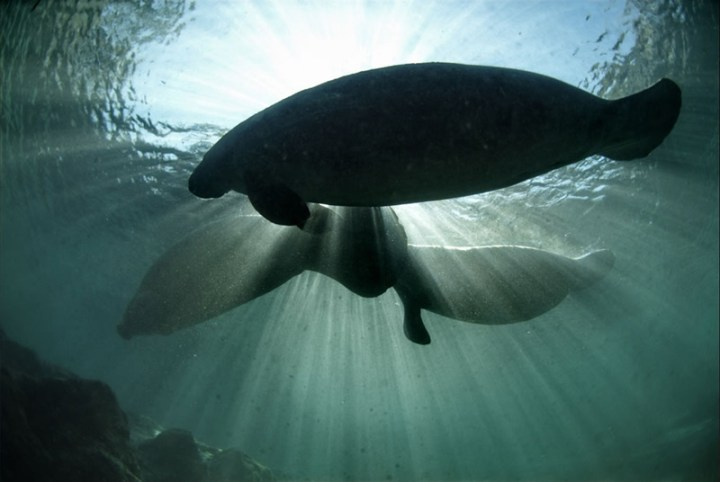 Manatees-crossing-over-the-King-Spring-toward-the-manatee-sanctuarys-shallow-waters