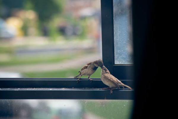 found-blind-baby-sparrow-below-my-balcony-3