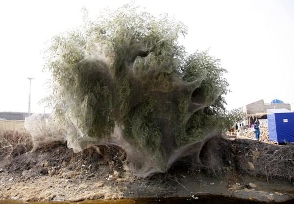 cocooned-trees-in-pakistan