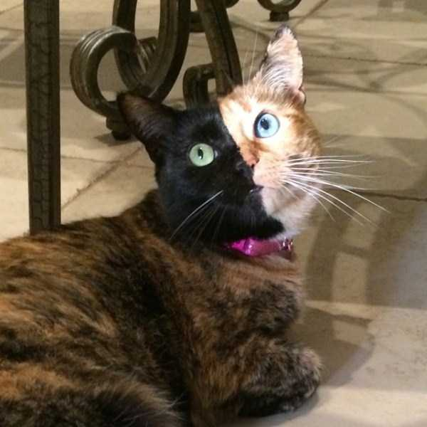 Extremely Rare TwoFaced Chimera Cat Memolition - Venus two faced cat