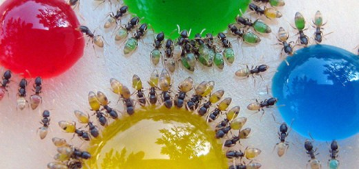 ants_colored_water_02
