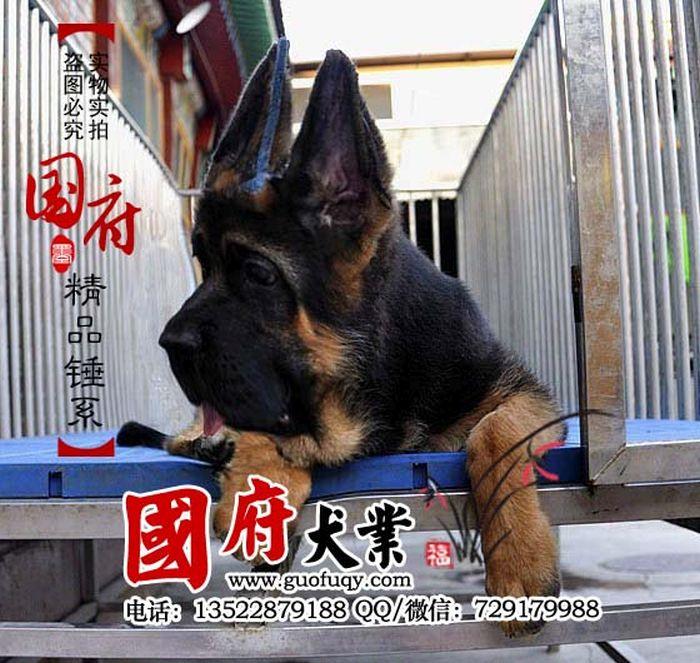 Unbelievably Large Chinese German Shepherd  Memolition-5040