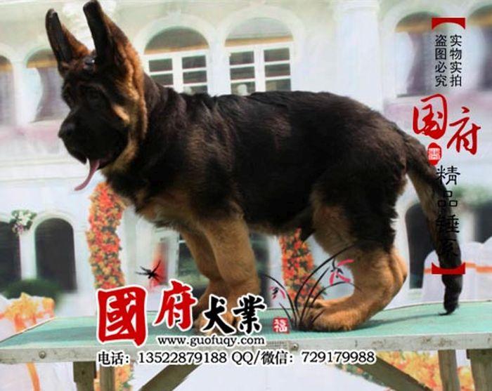 unbelievably large chinese german shepherd