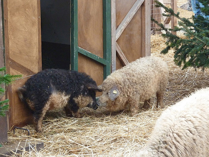mangalitsa-furry-pigs-hairy-sheep-310__700