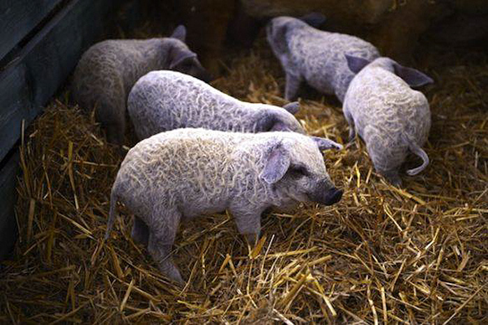 mangalitsa-furry-pigs-hairy-sheep-28__700